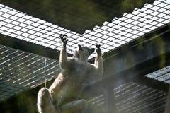 Mono encerrado Fotos de archivo