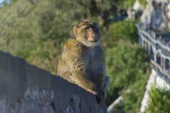 Mono encima de la roca de Gibraltar fotografía de archivo