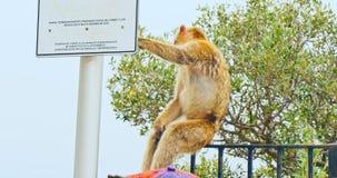 Mono endémico de Gibraltar almacen de video