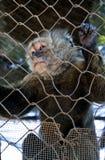 Mono enjaulado Fotos de archivo