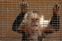 Mono enojado Imagen de archivo