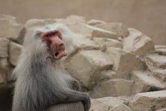 Mono enojado, gruñón del babuino de la capa con mucho fondo vacío fotos de archivo