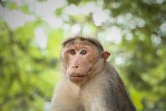 Mono envejecido centro del Macaque de capo fotos de archivo libres de regalías