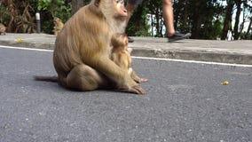 Mono grande con un beb? Ojos de Brown, piel mullida y paso interesante almacen de metraje de vídeo
