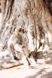 Mono gris de los langurs La India Imágenes de archivo libres de regalías