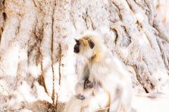 Mono gris de los langurs La India Imagenes de archivo