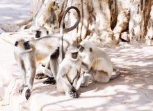 Mono gris de los langurs La India Fotografía de archivo libre de regalías