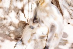 Mono gris de los langurs La India Foto de archivo libre de regalías