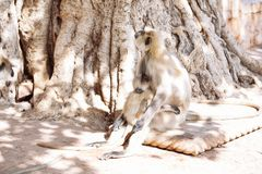 Mono gris de los langurs La India Foto de archivo