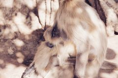 Mono gris de los langurs La India Fotografía de archivo