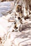 Mono gris de los langurs La India Imagen de archivo