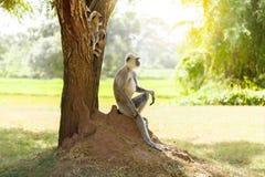 Mono gris en la selva que se sienta debajo de un árbol imagen de archivo libre de regalías