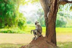 Mono gris en la selva que se sienta debajo de un árbol imágenes de archivo libres de regalías