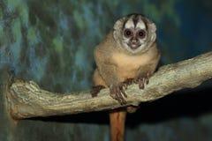 mono Gris-legged de la noche Fotografía de archivo libre de regalías