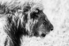 Mono head of male lion staring ahead. A male lion stares ahead as he walks across the African savannah. The shot shows his head and shoulders in black and white stock images