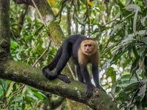Mono hecho frente blanco del capuchón Fotografía de archivo