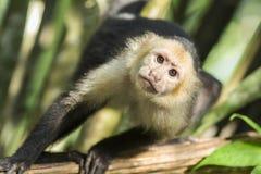 Mono hecho frente blanco del capuchón Fotos de archivo libres de regalías