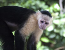 Mono hecho frente blanco del capuchón Imagen de archivo libre de regalías