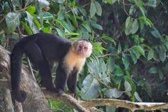 Mono hecho frente blanco del capuchón en Manuel Antonio National Park, Lechuga romana fotografía de archivo libre de regalías