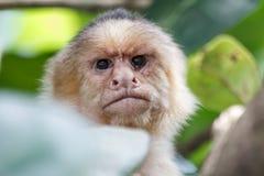 Mono hecho frente blanco enojado Foto de archivo libre de regalías