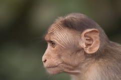 Mono indio Fotos de archivo