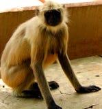 Mono indio del langur Fotos de archivo libres de regalías
