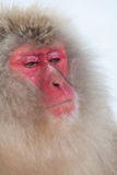Mono japonés de la nieve con la cara seria Fotos de archivo libres de regalías