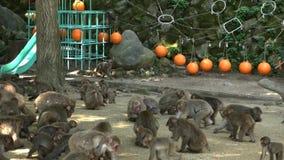 Mono japonés salvaje en Oita, Japón Monos que comen trigo del cebo metrajes