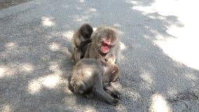 Mono japonés salvaje en Oita, Japón Monos que comen trigo del cebo almacen de metraje de vídeo