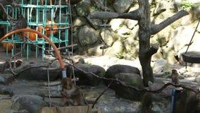 Mono japonés salvaje en Oita, Japón Monos que comen trigo del cebo almacen de video