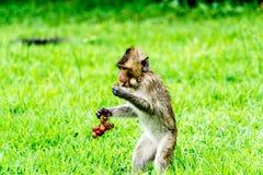 Mono joven con la uva Imagenes de archivo