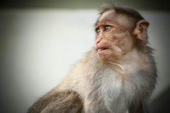 Mono joven del Macaque de capo que da actitud sincera foto de archivo