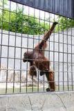 Mono juguetón Fotos de archivo