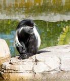 Mono juvenil de Alngolan Colobos Fotos de archivo