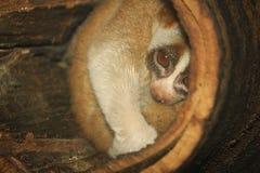 mono lento de los loris en árbol Imagenes de archivo