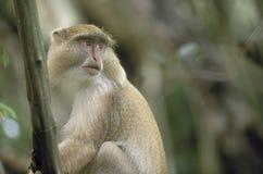 Mono ligero de Samango, Suráfrica Fotos de archivo libres de regalías
