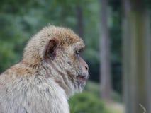 Mono lindo Fotos de archivo
