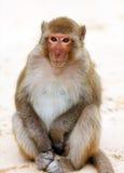 Mono lindo curiosamente que se sienta en la playa en Vietnam Foto de archivo libre de regalías