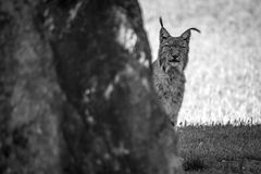 Mono lynx peeking out from behind rock Royalty Free Stock Images