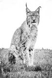 Mono lynx sitting down looking at camera Stock Images
