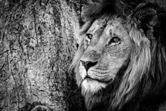 Mono närbild av det manliga lejonet bredvid träd royaltyfri fotografi