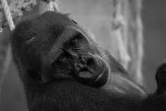 Mono närbild av gorillahuvudet i hängmatta arkivbild