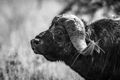 Mono närbild av uddebuffeln i profil fotografering för bildbyråer