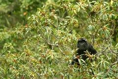 Mono negro del langur Imagen de archivo