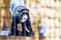 Mono negro en célula del parque zoológico Imagen de archivo libre de regalías