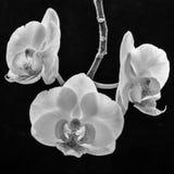 Mono orquídeas Foto de archivo libre de regalías