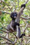 Mono oscuro del langur Fotos de archivo libres de regalías