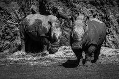 Mono para biała nosorożec pod falezą Obraz Royalty Free