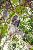 Mono plateado de la hoja Familia de langurs plateados fotos de archivo