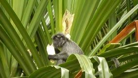 Mono plateado de la hoja, parque nacional de Bako, Borneo, Sarawak, malayo almacen de metraje de vídeo